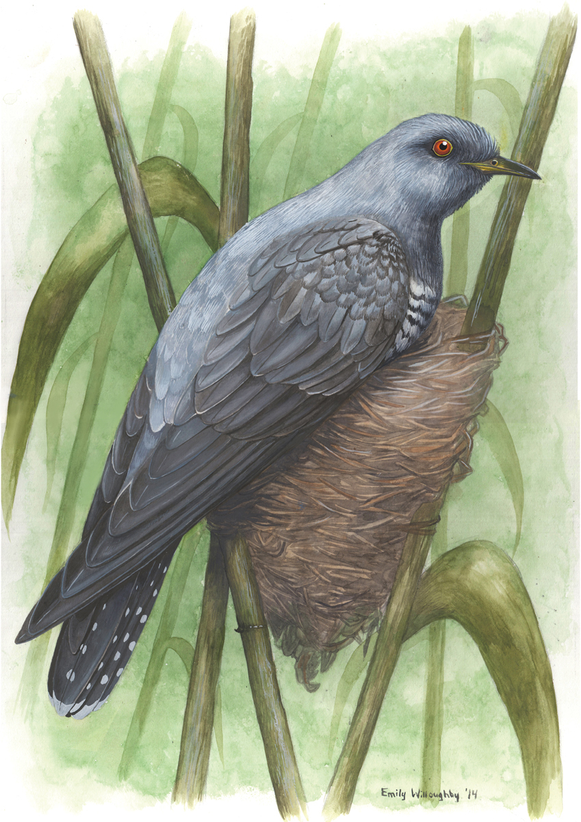 Cuckoo and Warbler: Nest Parasitism 2
