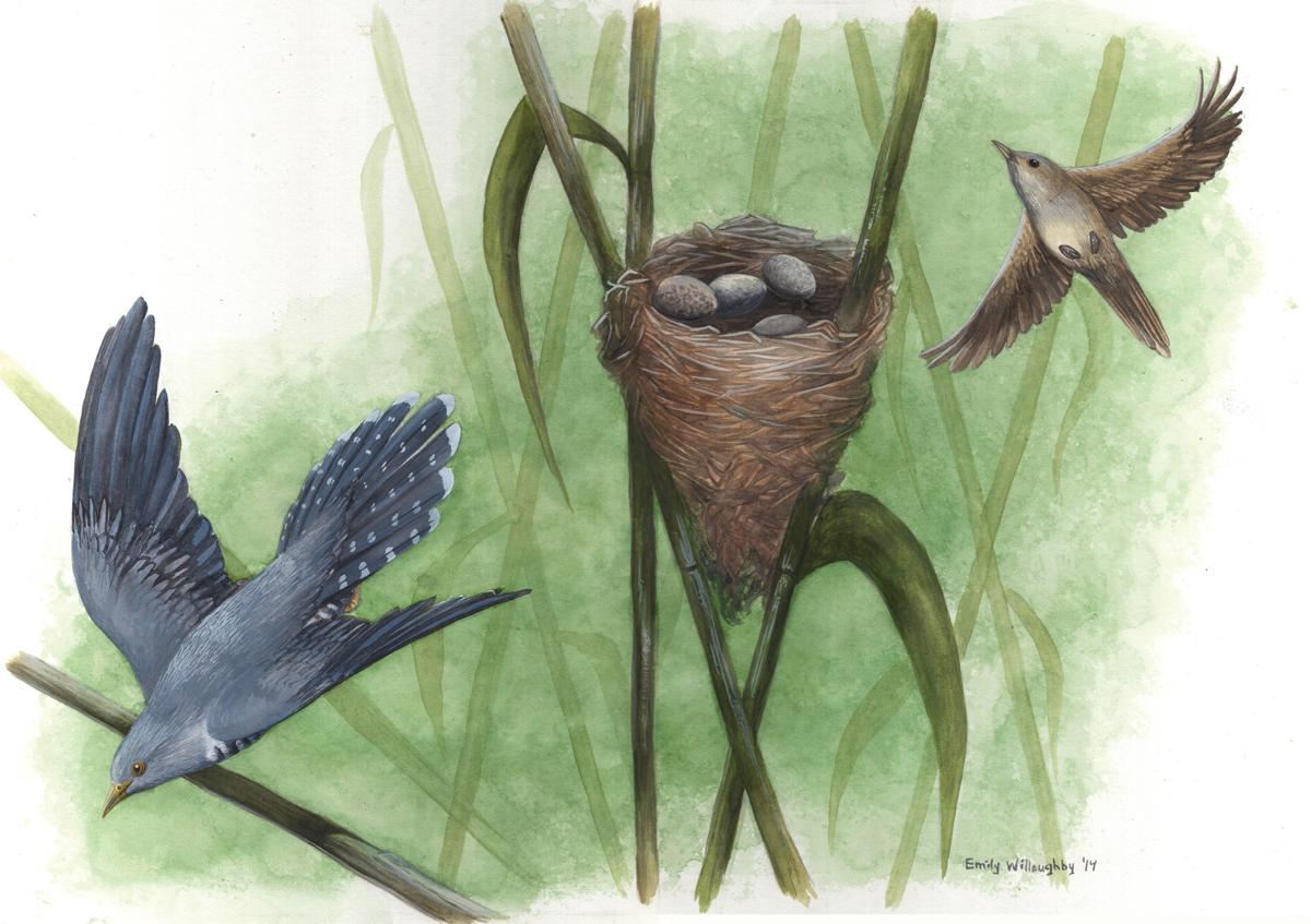 Cuckoo and Warbler: Nest Parasitism 3
