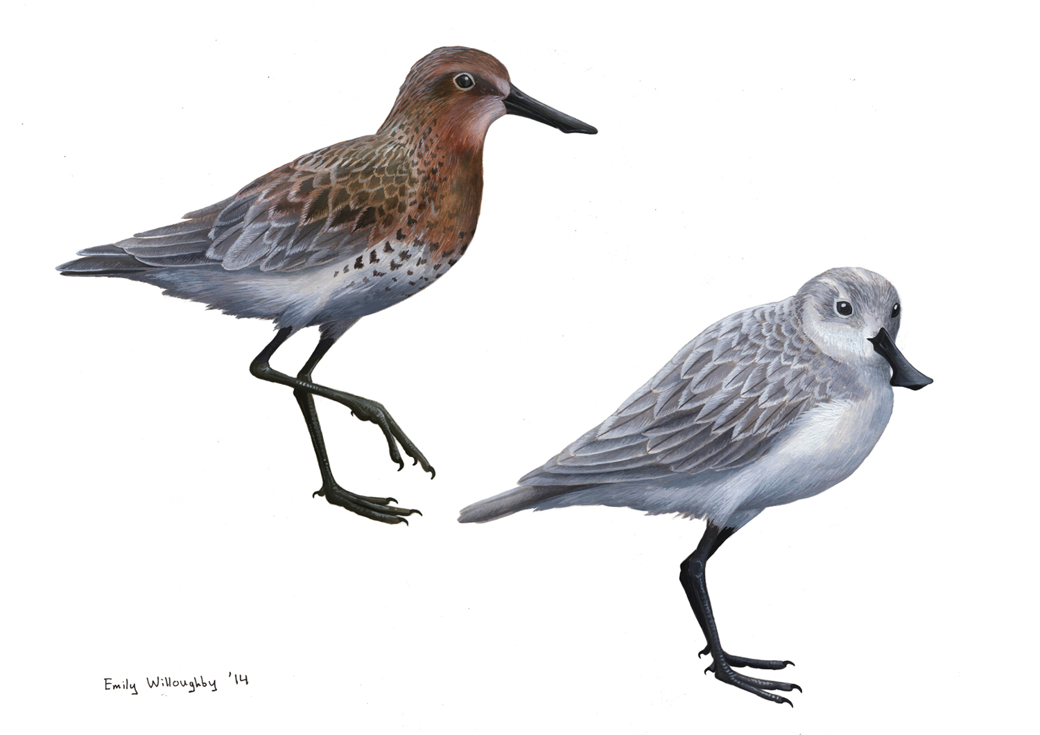 Spoon-billed Sandpiper Plumages