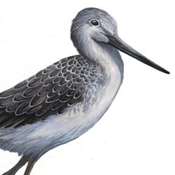 Common Greenshank Plumages