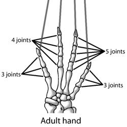 Development of Skink Toes
