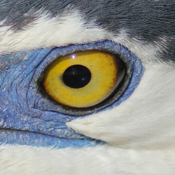Eye of the Great Blue