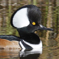 Hooded Merganser Male 2