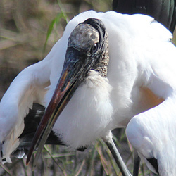 Strutting Wood Stork