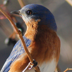 Winter Bluebird Male 2