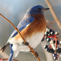 Winter Bluebird Male